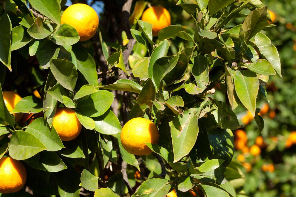 seville_oranges_WaldoWard_SusanLutz