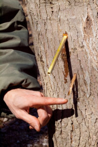 tree-tapping-for-sap-photobysusanlutz